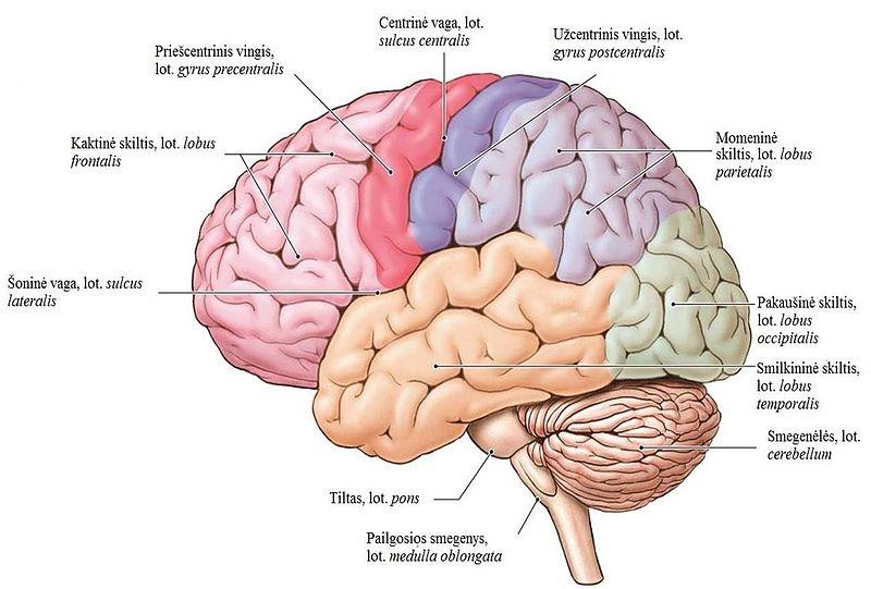 galvos smegenu struktura